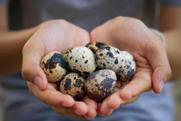Перепелиные яйца на ладонях