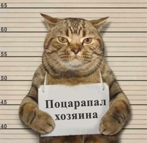 Арестованный кот с табличкой Поцарапал хозяина